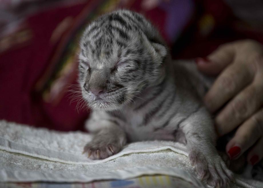 В зоопарке Никарагуа родился редкий белый бенгальский тигренок.Вокруг Света. Украина