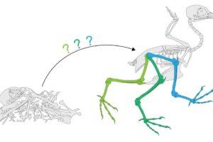 Компьютерная модель помогает понять биомеханику динозавров