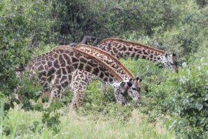 Друзья важны для долголетия: доказано жирафами