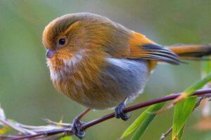 Гималайские певчие птицы нарастили пуховые «куртки»