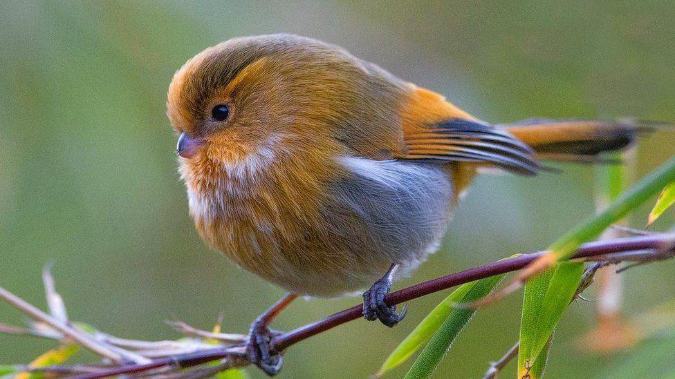 Гималайские певчие птицы нарастили пуховые «куртки».Вокруг Света. Украина