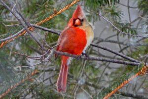В США орнитолог заметил редкую птицу с признаками обоих полов