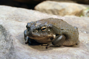 Популяция редких жаб сокращается из-за любителей психоделических трипов