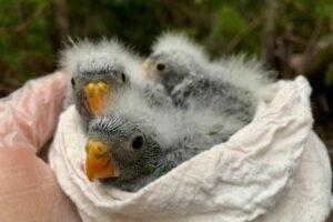 В Австралии редчайшие попугаи переживают демографический взрыв