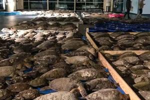 В Техасе жители спасли тысячи замерзших черепах