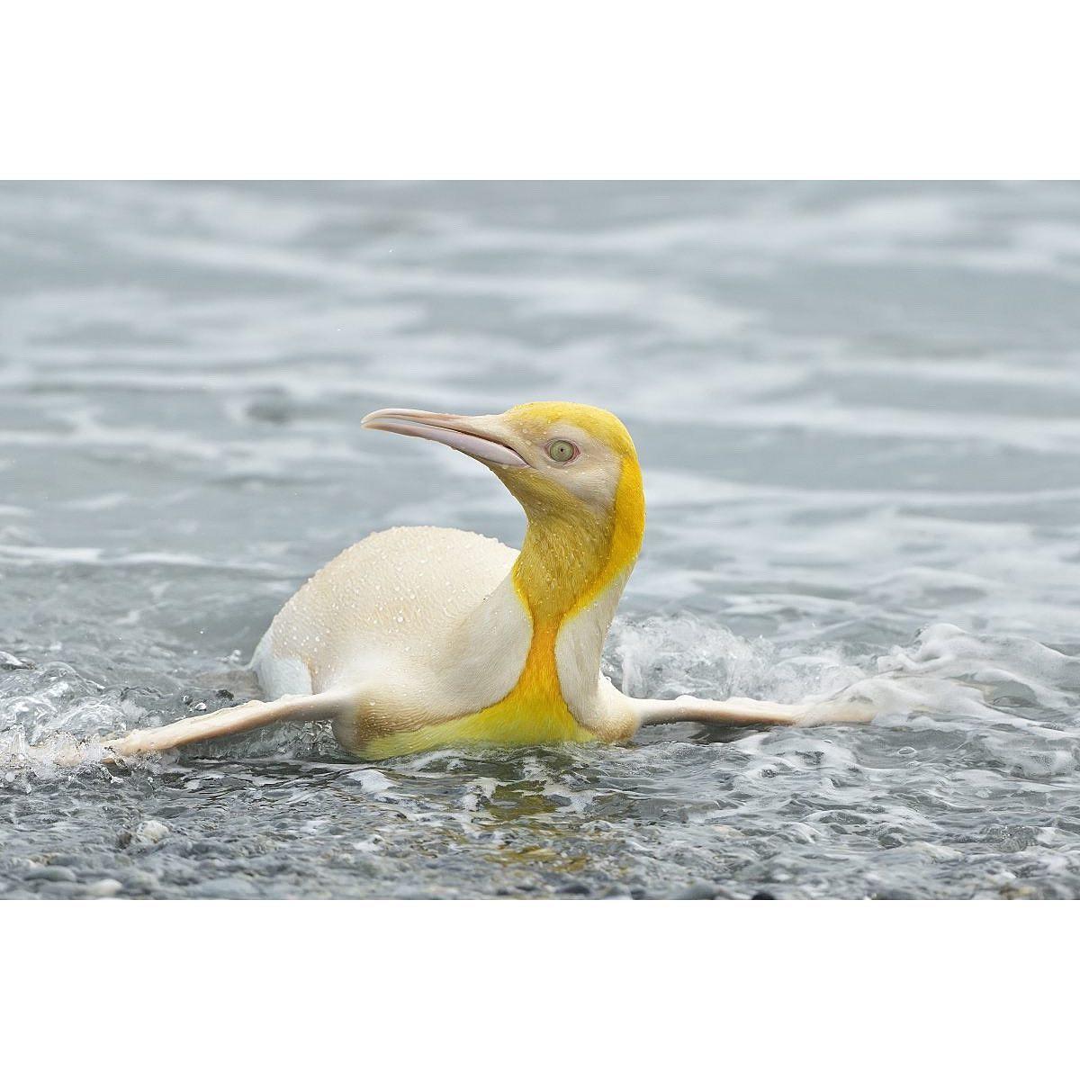 На островах Южной Атлантики нашли первого в мире желтого пингвина