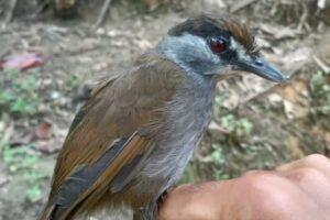 На Борнео впервые за 180 лет заметили птицу, считавшуюся вымершей