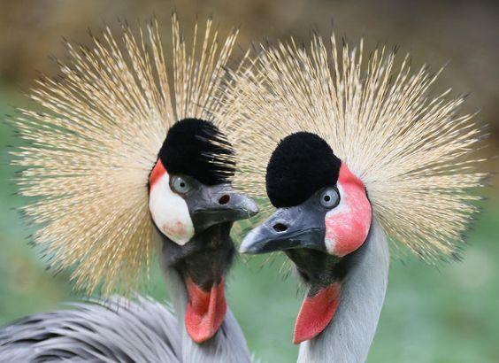 Как в Руанде венценосных журавлей вернули из частных владений в дикую природу.Вокруг Света. Украина
