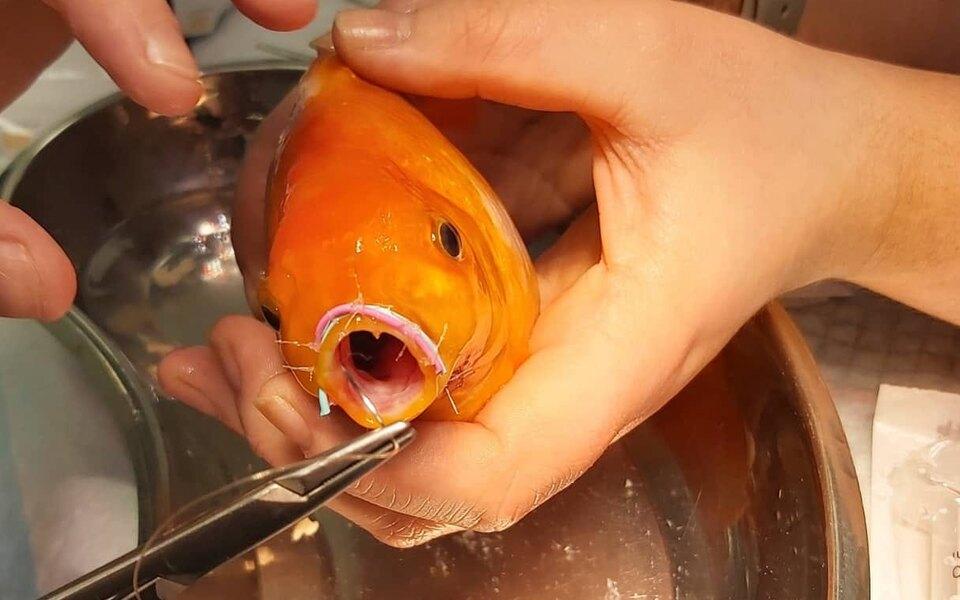 В Великобритании прооперировали золотую рыбку с переломом челюсти