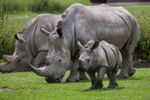 Пандемия на треть сократила число убийств носорогов браконьерами