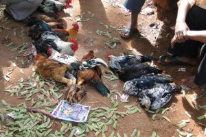 В Индии бойцовый петух убил хозяина