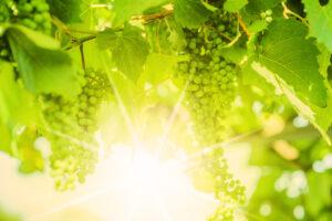 Виноград защищает кожу от ультрафиолета