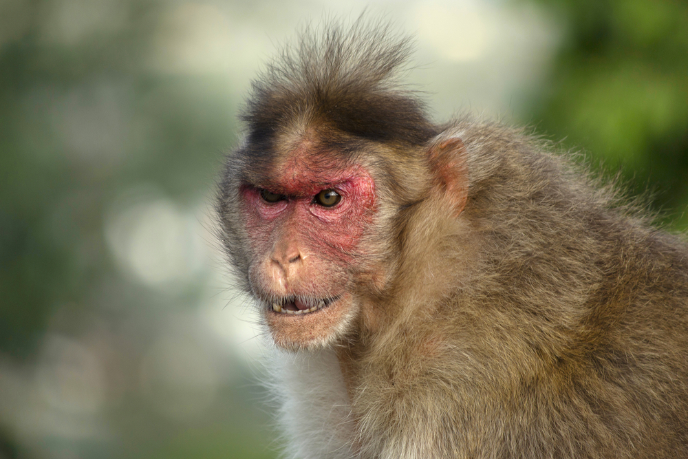 В Индии обезьяны украли двух новорожденных: один погиб