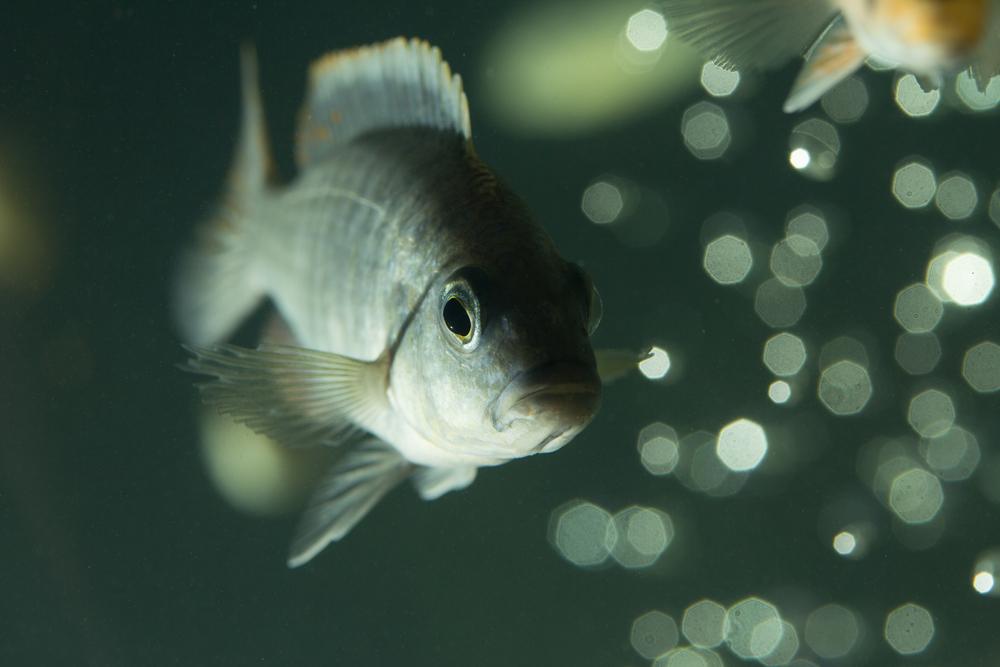 Антидепрессанты из канализации превращают рыб в зомби