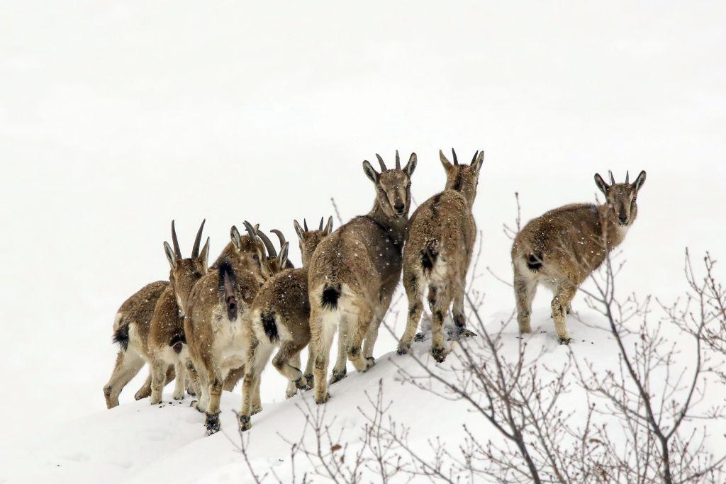 Как стадо диких коз решает, куда двигаться в поисках пастбища?