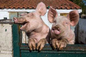 Ученые выяснили, что свиньи любят видеоигры