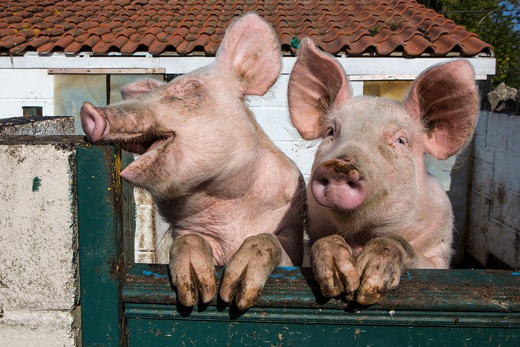 Ученые выяснили, что свиньи любят видеоигры.Вокруг Света. Украина