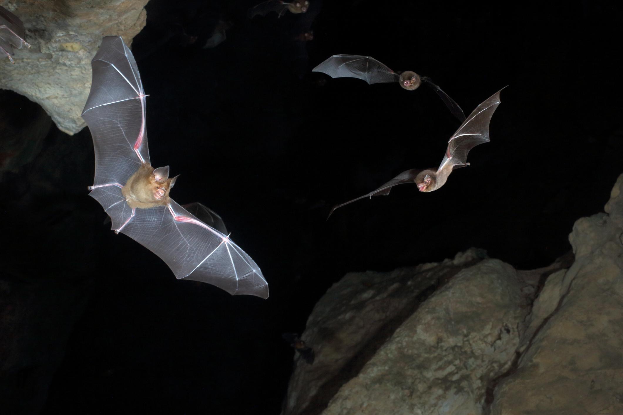 Летучие мыши оказались искусными планеристами