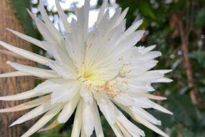 В Кембридже редкий цветок селеницериус расцвел всего на одну ночь