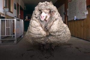 Австралийского барана едва не задавила собственная шерсть