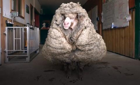 Австралийского барана едва не задавила собственная шерсть.Вокруг Света. Украина