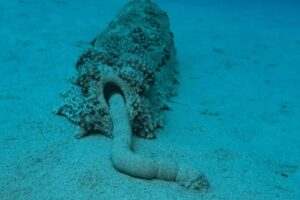 Как фекалии морских огурцов спасают от гибели коралловые рифы