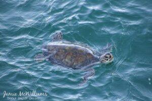 Сотни черепах, спасенных от морозов в Техасе, выпустили в море
