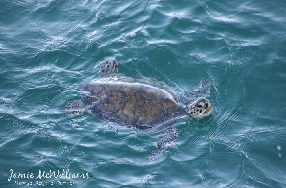 Сотни черепах, спасенных от морозов в Техасе, выпустили в море.Вокруг Света. Украина