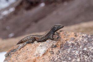 В Перу ящерица забралась на невозможные для рептилий 5,5 км