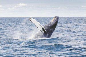 Горбатые киты не заимствуют песни друг у друга. Все оказалось сложнее