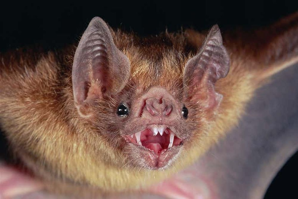 Летучая мышь-вампир усыновила мышонка-сироту