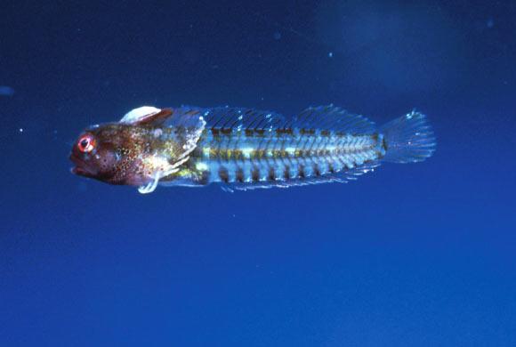 У берегов Коста-Рики открыли новый вид крошечных морских собачек