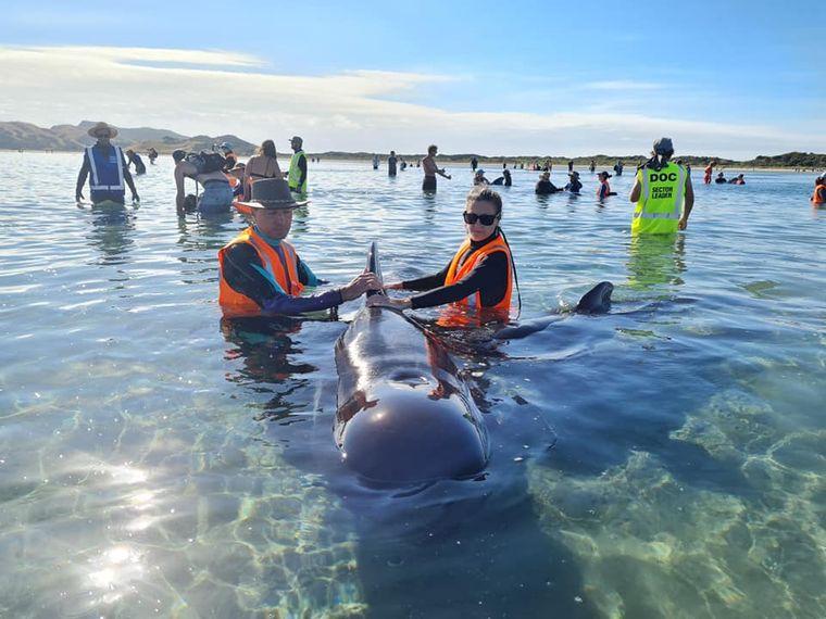 В Новой Зеландии стая дельфинов дважды выбросилась на мель