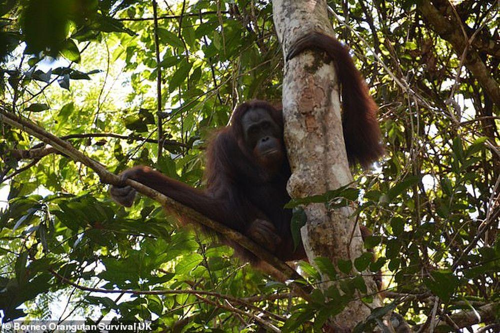 На Борнео выпустили в дикую природу 10 орангутанов, спасенных из неволи