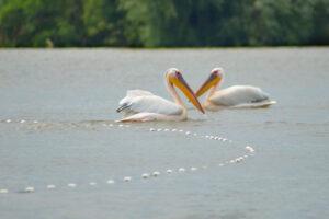Уязвим и прекрасен: все, что вы хотели знать о пеликанах в Украине