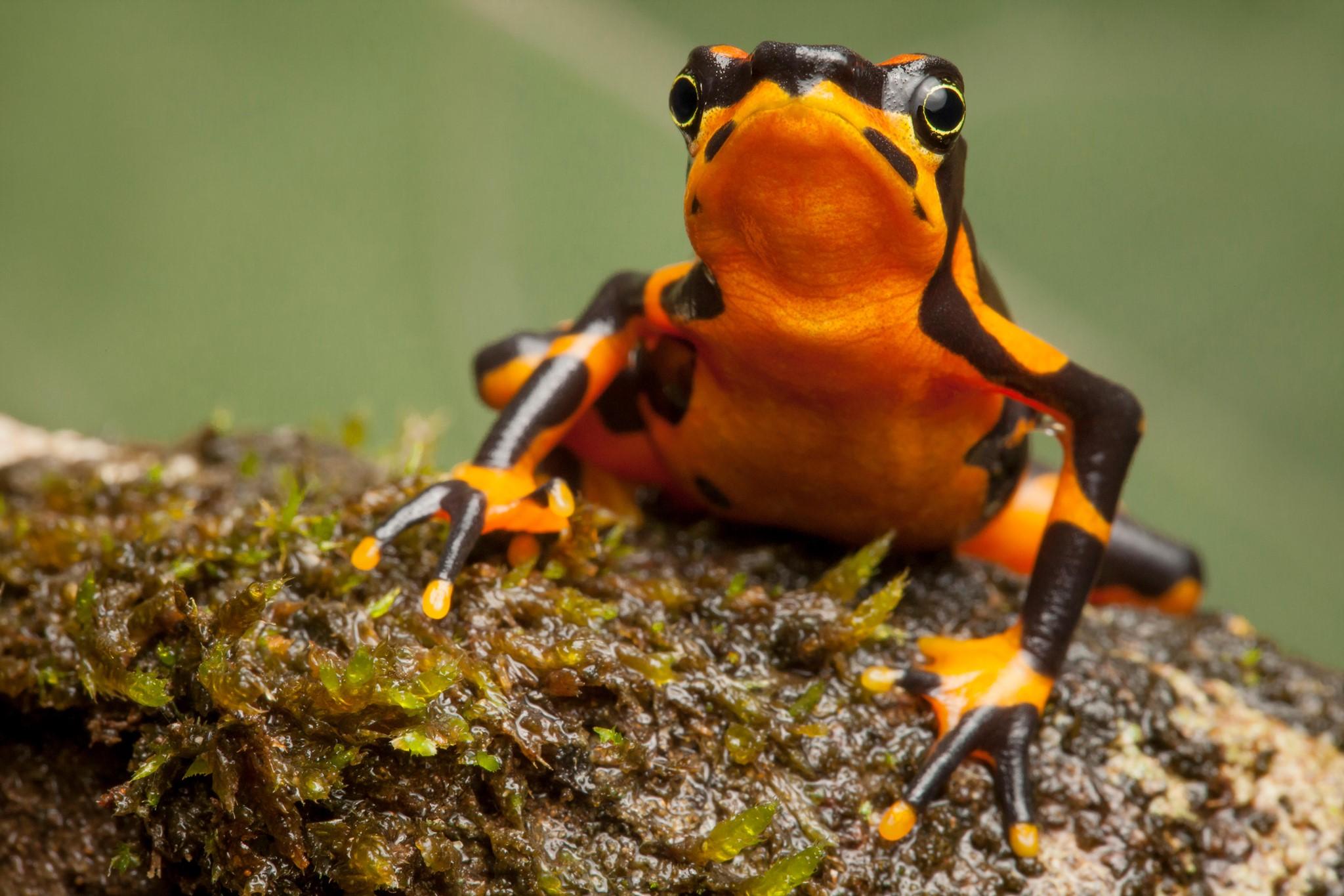 Пестрый арлекин: редчайшую жабу планеты впервые вывели в неволе