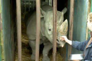 Английский зоопарк выпустит на волю самку черного носорога