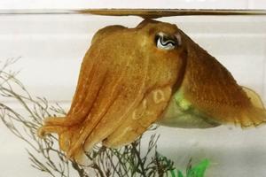 В Кембридже каракатицы прошли зефирный тест на самоконтроль