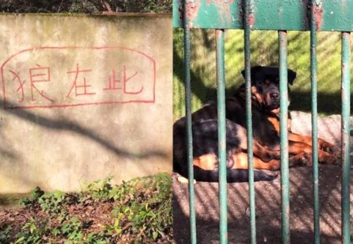 В китайском зоопарке ротвейлера выдавали за волка