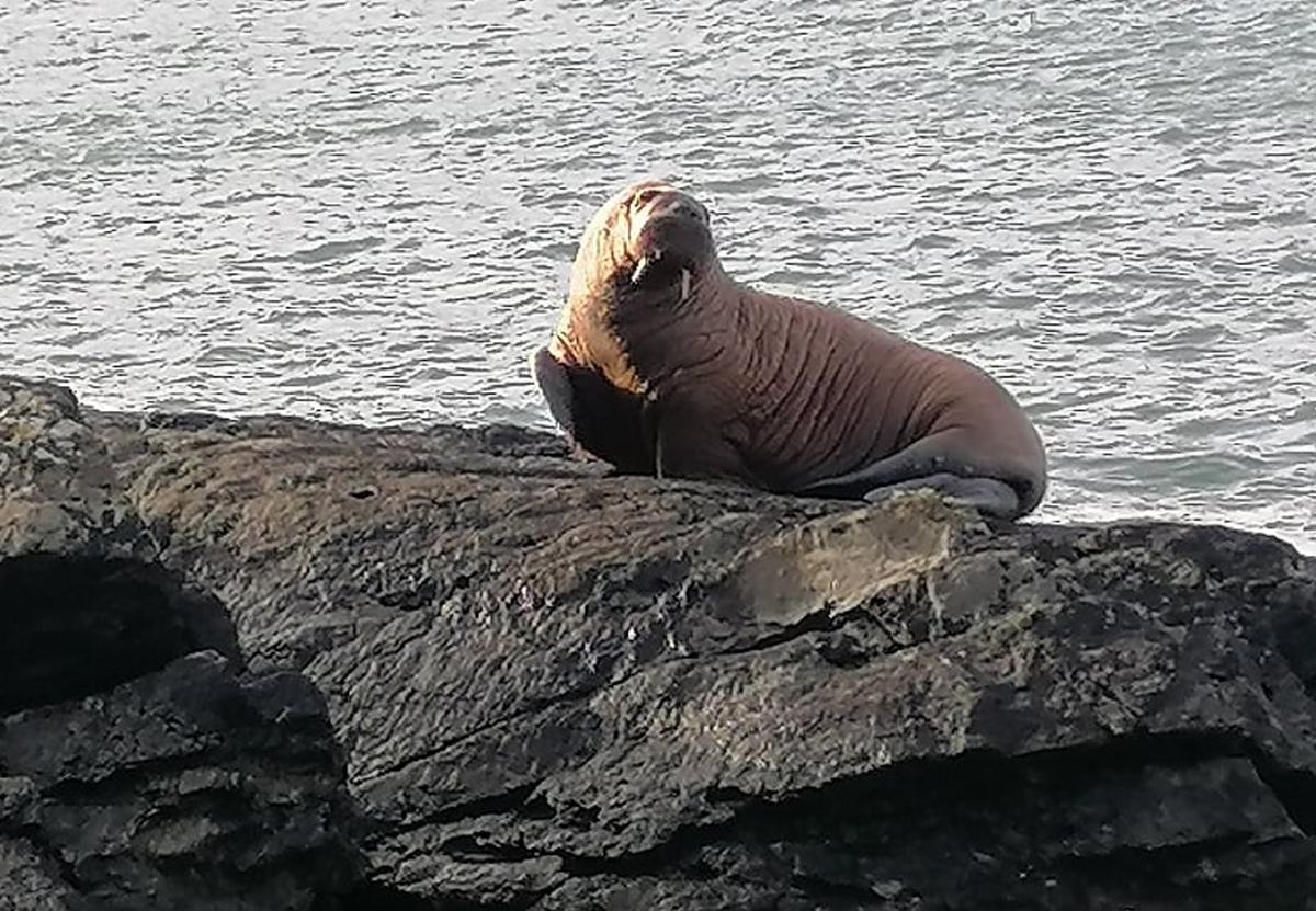 У берегов Ирландии заметили арктического моржа. Как он туда попал?.Вокруг Света. Украина