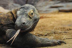Как древний песчаный варан соблазнил комодского дракона?