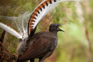 Самцы лирохвостов манипулируют самками, имитируя тревожные звуки