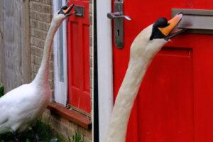 Лебедь несколько лет терроризирует город в Великобритании
