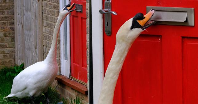 Лебедь несколько лет терроризирует город в Великобритании.Вокруг Света. Украина