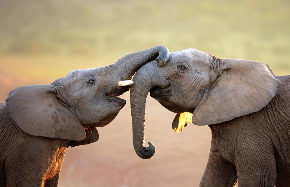Африканские слоны вымирают. Теперь официально.Вокруг Света. Украина