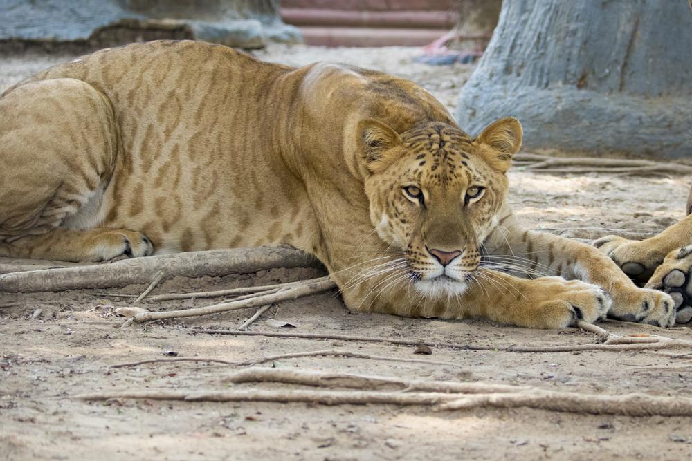 Лигр: самая большая кошка в мире.Вокруг Света. Украина