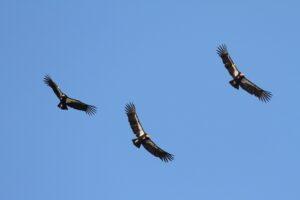 Вымирающие кондоры вернутся в Калифорнию спустя столетие