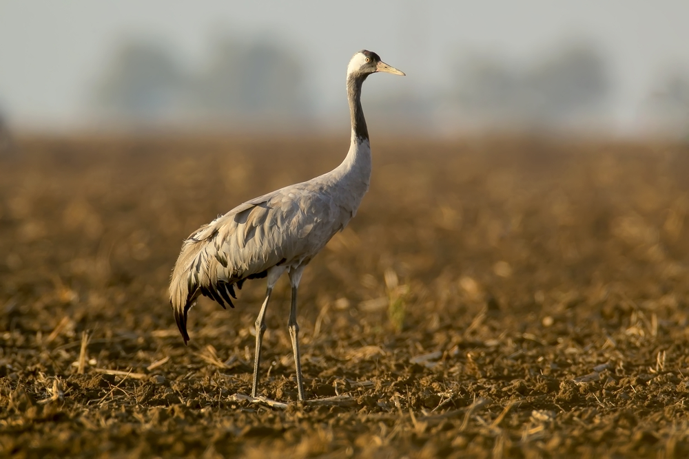 Журавли в «Аскании-Нова» продолжают гибнуть из-за отравленного зерна на полях