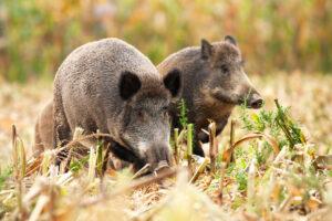 В Малайзии реабилитировали диких свиней