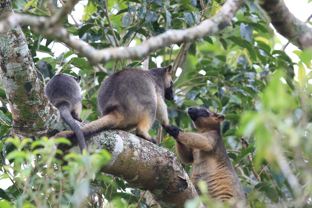 Древние кенгуру хорошо лазили по деревьям